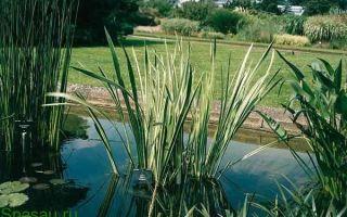 Аир болотный целебные свойства