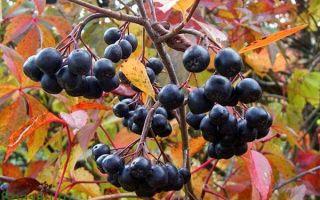 Лечебные свойства черноплодной рябины и ее противопоказания