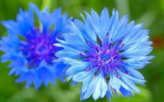 Василек синий в нетрадиционной медицине
